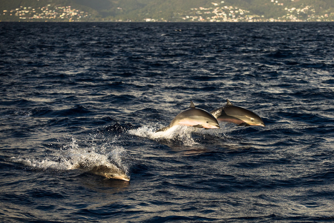 Dolphin in Dominica